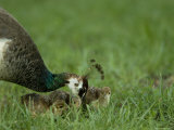 Peahen and Her Chicks, Omaha Zoo, Nebraska Photographic Print by Joel Sartore