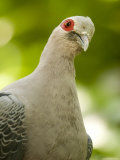 Portrait of a Pinon Imperial Pigeon, Singapore Photographic Print by Tim Laman