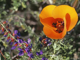 Desert Mariposa Tulip and Coulter's Lupine, Saline Valley, California Photographic Print by Gordon Wiltsie