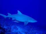Portrait of an Indo-Pacific Lemon Shark, Bora Bora Photographic Print by Tim Laman