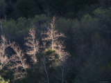 Cottonwood Trees Backlit in Matilija Canyon, California Photographic Print by Rich Reid
