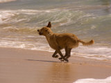 Dog Runs on the Beach, Hawaii Photographic Print by Stacy Gold