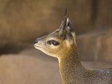 Klipspringer at the Henry Doorly Zoo in Omaha, Nebraska Photographic Print by Joel Sartore