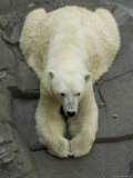 Polar Bear Sits with his Paws Together at the Henry Doorly Zoo, Nebraska Photographic Print by Joel Sartore