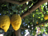 Lemons Hanging from a Lemon Tree for Sale as Local Produce on the Amalfi Coast in Ravello, Italy Photographic Print by Richard Nowitz