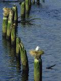 Gulls Nest Atop Pilings in the Nehalem River, Oregon Photographie par Phil Schermeister