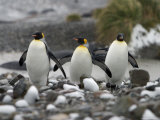 King Penguins Walking on Rocky Shore Photographic Print by Ralph Lee Hopkins