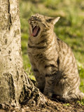 Domestic Cat Yawning by a Tree, Pennsylvania Photographic Print by Tim Laman