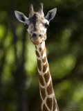 Reticulated Giraffe at the Henry Doorly Zoo in Omaha, Nebraska Photographic Print by Joel Sartore