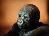 Infant Gorilla in a Zoo Photographie par Michael Nichols