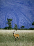 Male Ugandan Kob Stands his Ground in Semuliki Wildlife Reserve Photographic Print by David Pluth