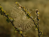 Dew Highlights an Orb-Weaver Spider's Web Photographic Print by Mattias Klum