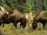 Rutting Bull Moose Fighting, Alaska Photographic Print by Michael S. Quinton