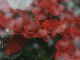 Norway, Red Flower on Window Photographic Print by  Brimberg & Coulson