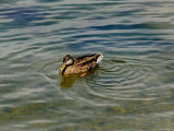 Lone Duck Swimming on a River, Groton, Connecticut Photographic Print by Todd Gipstein