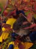Red Backed Vole with Blueberry, Alaska Photographic Print by Michael S. Quinton