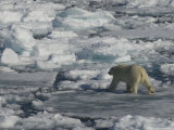 Polar Bear Walking on Iceberg, Svalbard Islands, Norway Photographic Print by  Brimberg & Coulson