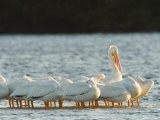 Portrai of American White Pelicans, Sanibel Island, Florida Photographic Print by Tim Laman