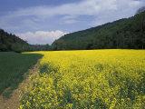 Rape Seed Field, Zurich, Switzerland Photographic Print by Richard Nowitz
