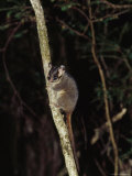 Endangered Leadbeaters Possum Clings to a Branch, Yellingbo Nature Reserve, Australia Photographic Print by Jason Edwards