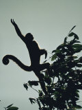 Grey Wooly Monkey Hurls Itself from a Bough in the Rain Forest Photographic Print by Mattias Klum