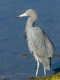 Portrait of a Reddish Egret, Sanibel Island, Florida Photographic Print by Tim Laman