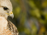 Portrait of a Florida Red-Shouldered Hawk Photographic Print by Tim Laman
