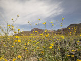 Desert Wildflowers in Death Valley National Park, California Photographic Print by James Forte