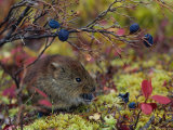 Red Backed Vole Eating Blueberry, Alaska Photographic Print by Michael S. Quinton