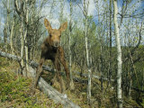 Newborn Calf Moose Stands in a Quaking Aspen Grove, Alaska Photographic Print by Michael S. Quinton
