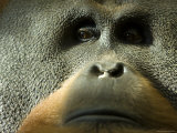 Male Orangutan at the Sedgwick County Zoo, Kansas Photographic Print by Joel Sartore