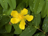Saint John's Wort Flower and Foliage Covered with Dew Photographic Print by Todd Gipstein