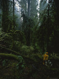 Hiker and Dogs in a Stand of Old Growth Spruce Trees on Vancouver Island Photographic Print by James P. Blair