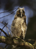 Juvenile Horned Owl Photographic Print by Mattias Klum
