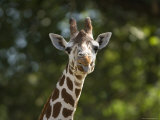 Reticulated Giraffe Sticks its Tongue Out at the Camera, Henry Doorly Zoo, Nebraska Photographic Print by Joel Sartore