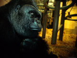 Gorilla in a Zoo Photographic Print by Michael Nichols