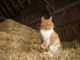 Farm Cat Sitting on a Bale of Straw, Massachusetts Photographic Print by Tim Laman