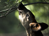 Okapi Reaches for a Little Snack at the Henry Doorly Zoo, Nebraska Photographic Print by Joel Sartore