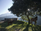 Horse, Colt as Dawn Shines Through Tree by House in Venezuelan Andes Fotografisk tryk af David Evans