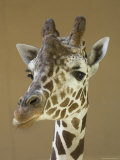 Reticulated Giraffe Makes a Slanted Grin at the Henry Doorly Zoo, Nebraska Fotografiskt tryck av Joel Sartore