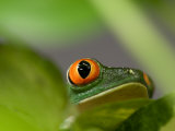 Red-Eyed Tree Frog at the Sunset Zoo, Kansas Photographic Print by Joel Sartore