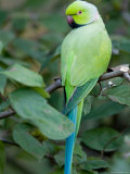 Ring-Necked Parakeet at the Kansas City Zoo Reproduction photographique par Joel Sartore