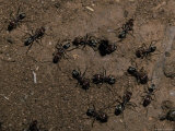 Meat Ants, Iridomyrmex Species, Defend a Colony Nest Hole from Attack, Australia Photographic Print by Jason Edwards