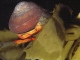 Norris&#39;s Top Snail Crawling on Giant Kelp Blade. Norrisia Norrisi, California Photographic Print by James Forte