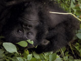 Mountain Gorilla Relaxes in the Cool Shade of a Tropical Rainforest Photographic Print by Jason Edwards