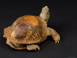 Ornate Box Turtle with a Fiberglass Shell after Being Hit by a Car Photographic Print by Joel Sartore