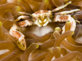Porcelain Crab in a Sea Anemone, Malapascua Island, Philippines Photographic Print by Tim Laman