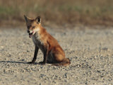 Red Fox Pauses to Lick its Chops, Bombay Hook, Delaware Photographic Print by George Grall