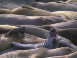 Northern Elephant Seals, California Photographic Print by Rich Reid