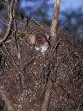 Ringtail Possum Emerging from Nest Drey to Feed at Night, Yellingbo Nature Reserve, Australia Photographic Print by Jason Edwards